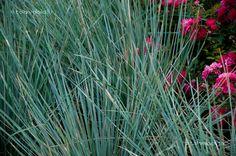 A díszfüvek egyre inkább elmaradhatatlanná válnak a kertek megtervezésekor, hiszen feltörő, vagy éppen finoman bókoló habitusukkal képesek változatosságot vinni a kertbe.