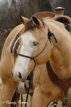 Buckskin APHA Paint Gelding, Great Minded Well-Broke Gelding for the Whole Family in Texas. DreamHorse.com is the premier horse classifieds site with horses for sale, lease, adoption, and auction, breeding stallions, and more.