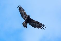 Golden eagle over Granite Park -- Logan Pass to Many Glacier Via Highline and Swiftcurrent Pass Trails, Glacier National Park, Montana | pinned by haw-creek.com