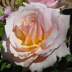 Les Rosiers Belmontais - Spécialiste du rosier - Chimène ® harzazz (EDIROSE)