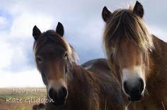 Exmoor ponies Withypool