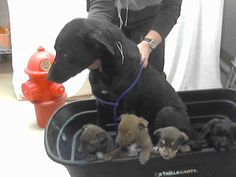 #TEXAS ~ ID A397854 thru 57 are listed as 4wk Belgian Malinois / Labrador mix…