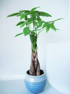"9GreenBox - 5 Money Tree Plants Braided into 1 Tree -Pachira with 4"" Ceramic Pot 9GreenBox http://www.amazon.com/dp/B001OZJV9Q/ref=cm_sw_r_pi_dp_lhNuvb0CQ2CFP"