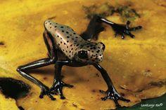 Geographic Treefrog (Hypsiboas geographicus)