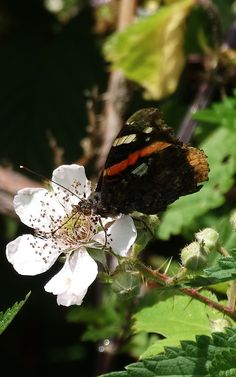 Red Admiral (Vanessa atalanta) Atalanta of Admiraalsvlinder (Photo by Jerdek©)