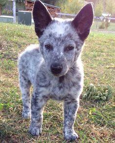 Australian Cattle Dog Terre Love Of My Life Stupid Dog Cat