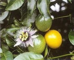 Panama Gold / Red Passionfruit