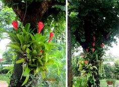 Bromeliads and ferns grown on tree trunk without any soil. A loose cylinder of garden plastic netting was fixed on a tree trunk. Gap between trunk and net was filled with brickbats, charcoal and coconut skin pieces; in which these plants were planted.