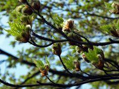 #Fagus #sylvatica #asplenifolia new #leaves and #flowers