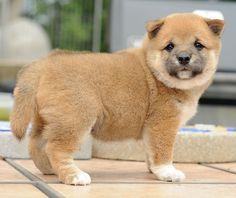 Red Shiba puppy