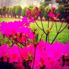 정원에 철쭉꽃이 활짝..☆〜(ゝ。∂)