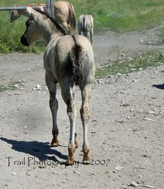 Grulla Quarter Horse Foal (Sage)