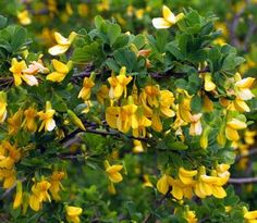Siberian Pea Shrub Plant Information | A Permaculture Plant