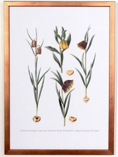 Fritillaria meleagris Poster, print size 32 cm x 44cm 1649-1659 Johannes Simon Holtzbecher SMK.dk