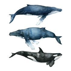 The Three Whales are part of the Whale Collection. It's a collection of The best of the best, the crème de la crème. Two humpbacks and one killer whale. It's an illustration of tranquility and living in symbiosis. A picture of pacific calmness. The Three Whales is a hand painted watercolor which has been printed on fine art paper, multi natural 270g, that has a gorgeous off white tone. This print is exclusively available in the size A3. All prints are locally painted and...