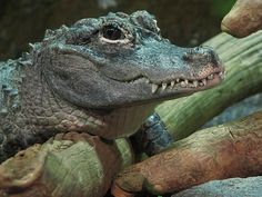 Chinese Alligator by Roger Smith, via Flickr