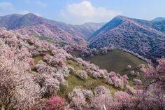Conheça as flores chinesas que vão tirar seu fôlego
