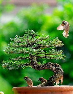 Birds enjoying a bonsai.