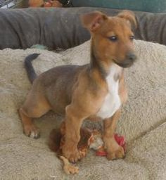 Dachshund Jack Russell Mix Brown Our dachshund jack russell mix pets ...