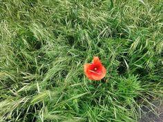 Lonely boy #leicacamera#leicalens#leicam#nature_perfection#naturelovers#poppy#papavero#worldcaptures#worldwide#italygram#italyiloveyou#italia#flowers#flowerstagram#flowersofinstagram#flowerslovers#milano#milanodavedere#nexus5#nature_perfection#ig_captures#ig_europe#urbangarden#igersmilano#floricultura#floriculture#botanica#bothanic#bothanicalgarden#panasoniclumix#photoperfect by wutheringheitsch