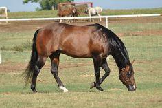 Quarter Horse stallion I Spin For Chics