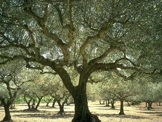 Provençal olive grove; An olive tree in Provence, France. #Provence #France #Europe #culture #travel #tree #olive #grove