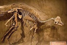 Hypacrosaurus altispinus fossil at the Royal Tyrrell Museum