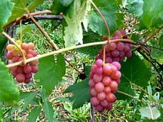 Growing grapes? Learn to prune them properly: Grapes produce the most fruit on shoots growing off of one-year-old canes. If you have too many old canes (from no pruning), then you'll get fewer grapes. If you prune back your vines completely each year, then you get lots of new growth, but again, few grapes. Learn the best practices from the National Gardening Association.