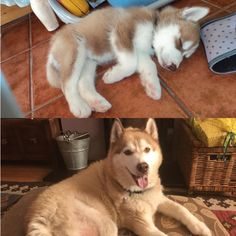 My aunties dog Loki, 2011 vs 2018 Husky Type Dogs, A Husky, Cute Puppies, Cute Dogs, Dogs And Puppies, Animals And Pets, Baby Animals, Cute Animals, Cat Vs Dog