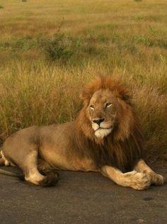 Magnificent male lion - KNP