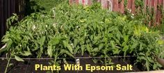 Epsom salt on your plants make for big and healthy plants! It's especially beneficial to tomatoes and peppers!