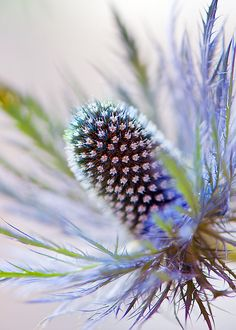Eryngium...I don't even know what that is but it is cooooool.