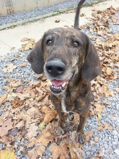 Plott Hound M 7 years 60 lbs. named Roover in Fairmont, WV @ Marion County Humane Society