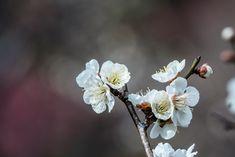 Plum blossoms at Hanegi park in Tokyo during the Ume Matsuri of 2018 - #tokyo #japan #flowers