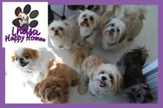 Lhasa Happy Homes - Team Lhasa Palooza.  Fundraising Page for Strut Your Mutt Los Angeles  September 22, 2012 at Pan Pacific Park