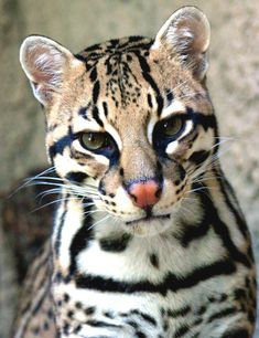 since I can't have a jaguar for a pet, I'll have an ocelot! :P mini version of a jaguar lol Ocelot I Love Cats, Big Cats, Cool Cats, Cats And Kittens, Nature Animals, Animals And Pets, Cute Animals, Ocelot, Beautiful Cats
