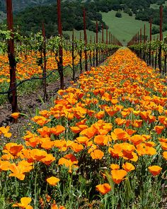California Poppies in a vineyard near Kenwood, Sonoma, California. Spring-time in the Wine Country by mcastellucci Beautiful Flowers, Beautiful Places, Temecula Wineries, Sonoma Wine Country, California Dreamin', Northern California, In Vino Veritas, Spring Time, Provence