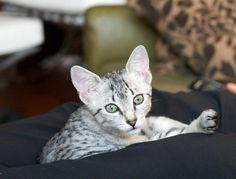 Cutest Kitten Breeds: Egyptian Mau | Petside