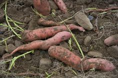 How to Grow Sweet Potatoes in the Home Garden