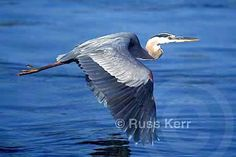 Great Blue Heron: I have a feather from one on the visor of my car, a memory of one that flew over me and dropped a feather for me one morning as I was fishing. So cool.