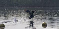 take off Pretty Birds, Bald Eagle, Explore, Schnauzer, Dinosaurs, Amazing, Wings, Pictures, Joy