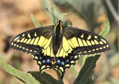 Anise Swallowtail butterfly, Papilio zelicaon