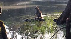 Raccoon riding a gator at the Ocala National Forest. Richard Jones, see also http://www.wptv.com/news/state/florida-man-snaps-picture-of-raccoon-riding-a-gator-in-ocala-national-forest