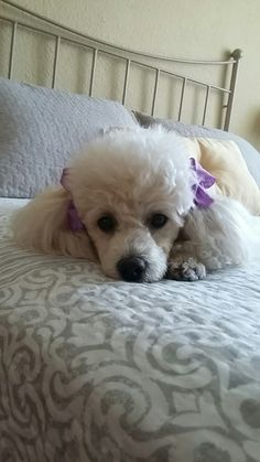 I love poodles!!  This precious baby looks like my first poodle...she ws absolutely beautiful! ❤❤
