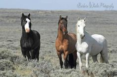 Three Unusual Mustang Stallions…    A black stallion with two blue eyes and a very unusual blaze…a dun stallion with a Smokey colored face and a white Appaloosa stallion few spot…