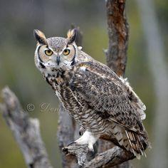 Wild Raptor Photos  Great Horned Owl Photo  by DeniseBruchmanPhoto