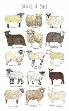 Shop your favorite brands overseas, get shipping to United States of America. Farm Animals, Animals And Pets, Funny Animals, Cute Animals, Breeds Of Cows, Sheep Breeds, Desenio Posters, Animal Science, Livestock