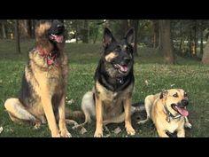 The German Shepherd Song  visit our page https://www.facebook.com/germanshepherdtips