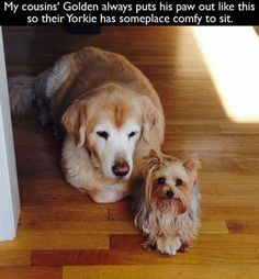 My cousins' Golden always puts his paw out like this so their Yorkie has someplace comfy to sit. : My cousins' Golden always puts his paw out like this so their Yorkie has someplace comfy to sit. Cute Funny Animals, Funny Animal Pictures, Funny Dogs, Funny Memes, Silly Dogs, Pet Memes, Random Pictures, Hilarious, Yorkies