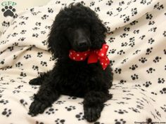 Cailyn, Standard Poodle puppy for sale from Gordonville, PA